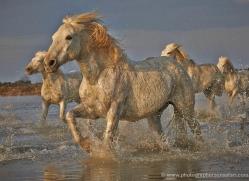 grey-heron-1070-camargue-copyright-photographers-on-safari-com