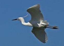 little-egret-1086-camargue-copyright-photographers-on-safari-com