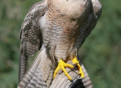 peregrine-falcon-1107-camargue-copyright-photographers-on-safari-com