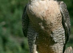peregrine-falcon-1110-camargue-copyright-photographers-on-safari-com