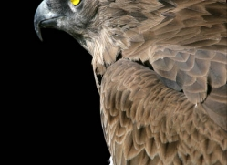 short-toed-snake-eagle-1119-camargue-copyright-photographers-on-safari-com.jpg