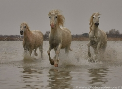 white-horses-camargue-copyright-photographers-on-safari-com-8336