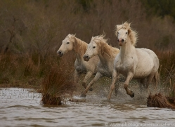 white-horses-camargue-copyright-photographers-on-safari-com-8337