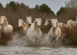 white-horses-camargue-copyright-photographers-on-safari-com-8338