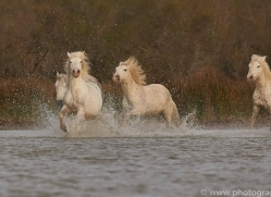 white-horses-camargue-copyright-photographers-on-safari-com-8340