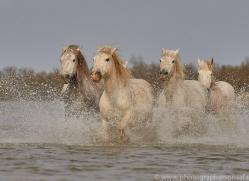 white-horses-camargue-copyright-photographers-on-safari-com-8341