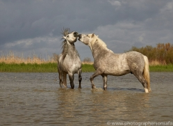 white-horses-camargue-copyright-photographers-on-safari-com-8342