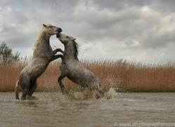 white-horses-camargue-copyright-photographers-on-safari-com-8343