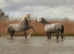 white-horses-camargue-copyright-photographers-on-safari-com-8344