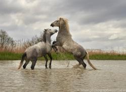 white-horses-camargue-copyright-photographers-on-safari-com-8345