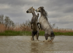 white-horses-camargue-copyright-photographers-on-safari-com-8346