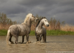 white-horses-camargue-copyright-photographers-on-safari-com-8348