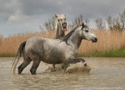 white-horses-camargue-copyright-photographers-on-safari-com-8349