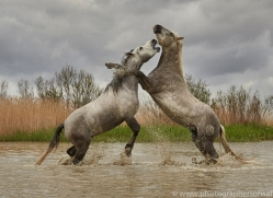 white-horses-camargue-copyright-photographers-on-safari-com-8350