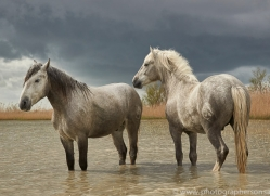 white-horses-camargue-copyright-photographers-on-safari-com-8351