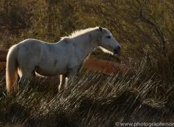 white-horses-camargue-copyright-photographers-on-safari-com-8353