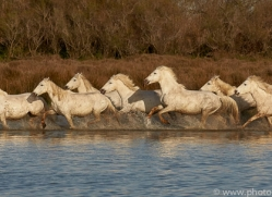 white-horses-camargue-copyright-photographers-on-safari-com-8354