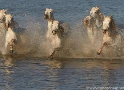 white-horses-camargue-copyright-photographers-on-safari-com-8355