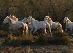 white-horses-camargue-copyright-photographers-on-safari-com-8356