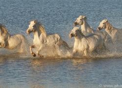 white-horses-camargue-copyright-photographers-on-safari-com-8357