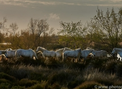 white-horses-camargue-copyright-photographers-on-safari-com-8358