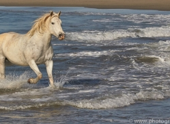 white-horses-camargue-copyright-photographers-on-safari-com-8366