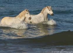 white-horses-camargue-copyright-photographers-on-safari-com-8368