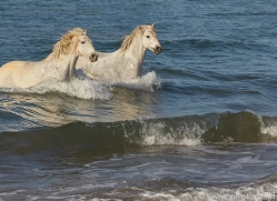 white-horses-camargue-copyright-photographers-on-safari-com-8369