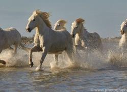 white-horses-camargue-copyright-photographers-on-safari-com-8372