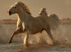 white-horses-camargue-copyright-photographers-on-safari-com-8373