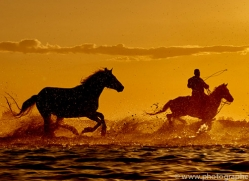 white-horses-camargue-copyright-photographers-on-safari-com-8377