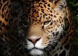 Jaguar- living in the shadows