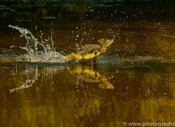 Jesus Christ-lizard-copyright-photographers-on-safari-com-6672