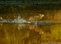 Jesus Christ-lizard-copyright-photographers-on-safari-com-6673