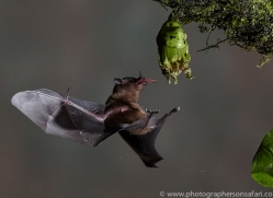 Long-tongued-nectar-bat-copyright-photographers-on-safari-com-6620