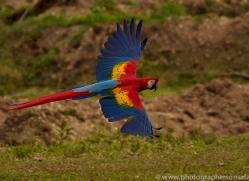 Scarlet-Macaw-copyright-photographers-on-safari-com-6688