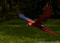 Scarlet-Macaw-copyright-photographers-on-safari-com-6691