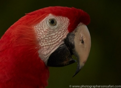 Scarlet-Macaw-copyright-photographers-on-safari-com-6692
