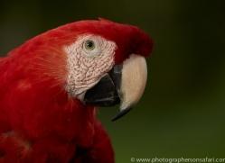 Scarlet-Macaw-copyright-photographers-on-safari-com-6694