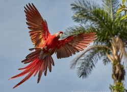 Scarlet-Macaw-copyright-photographers-on-safari-com-6703