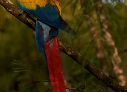 Scarlet-Macaw-copyright-photographers-on-safari-com-6714