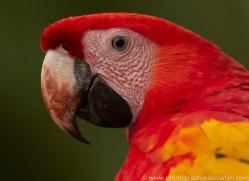 Scarlet-Macaw-copyright-photographers-on-safari-com-6719