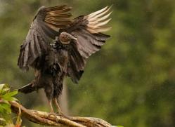 black-vulture-copyright-photographers-on-safari-com-8089