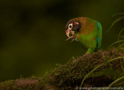 brown-hooded-parrot-copyright-photographers-on-safari-com-6686