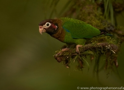 brown-hooded-parrot-copyright-photographers-on-safari-com-6687