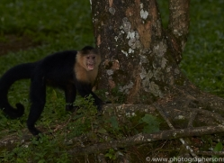 capuchin-monkey-copyright-photographers-on-safari-com-6720