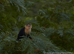 capuchin-monkey-copyright-photographers-on-safari-com-6721