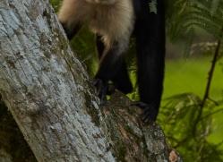 capuchin-monkey-copyright-photographers-on-safari-com-6722