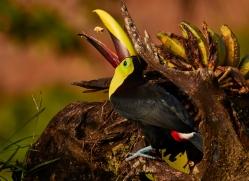 chestnut-mandibled-toucan-copyright-photographers-on-safari-com-6676