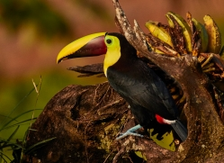 chestnut-mandibled-toucan-copyright-photographers-on-safari-com-6677